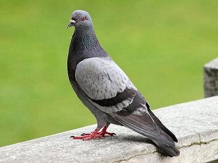 Proponen alimentar chicos con palomas