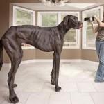 Este es el perro más alto del mundo segun Guinness