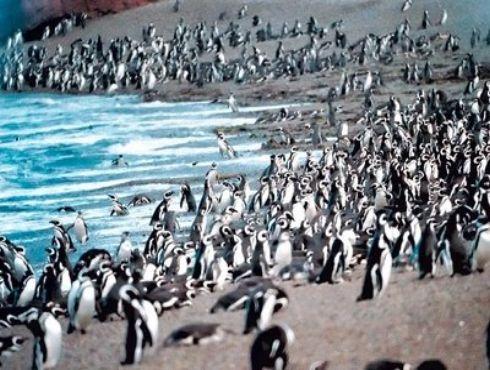 Inauguran la temporada de pingüinos 2012 en Chubut