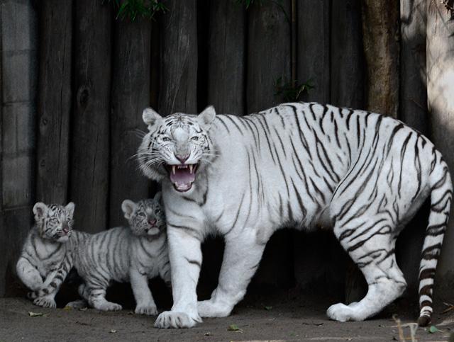 Nacen 4 tigres de Bengala en el zoológico de Buenos Aires