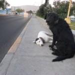 Perro permaneció todo un día junto al cuerpo de su compañera muerta