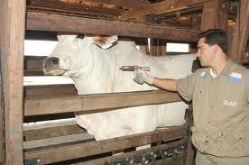Vacunaron a unos 38 millones de animales contra la Aftosa