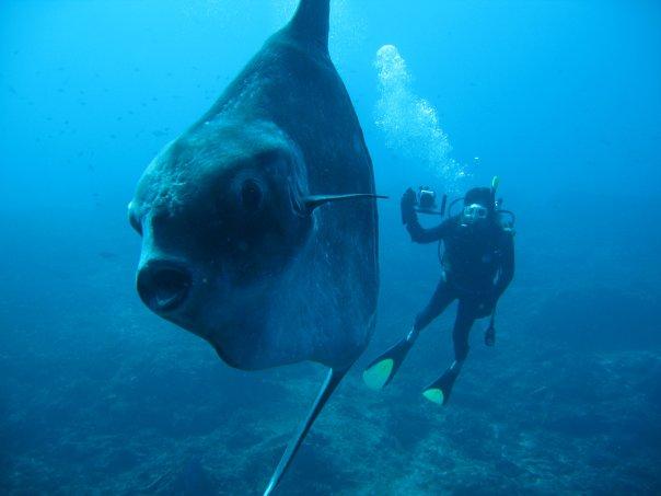 Capturan un pez luna de 2 toneladas