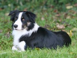 ¿Cuáles son los perros más inteligentes? Ranking de 79 razas