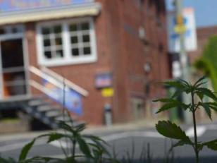 Tiraron semillas de marihuana y ahora crece en parques y jardines