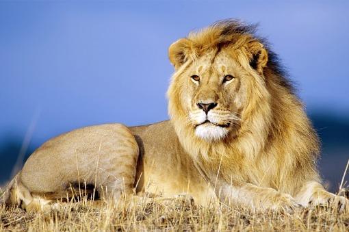 Intentan atrapar a un león africano que escapó de un circo