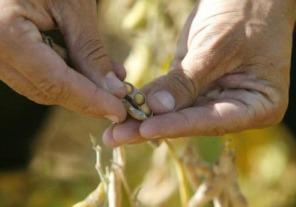 Agricultura analiza la calidad de la soja en distintas regiones
