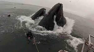 Video: ballena casi se traga a un buzo