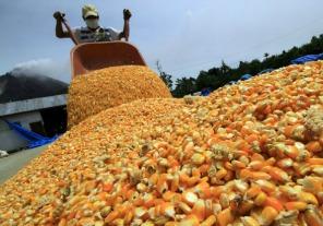 La cosecha de maíz alcanzará el récord de 32 millones de toneladas