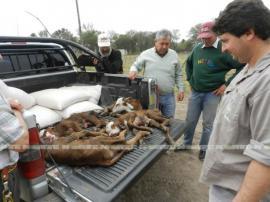 Vaca parió cuatro terneros
