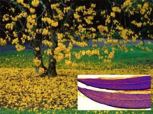 Geocientíficos encontraron pequeñas partículas de oro en las hojas, ramas y cortezas de algunos árboles