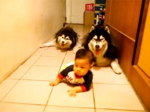 El video del día: 2 perros imitan a bebé gateando