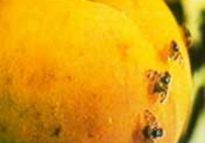 Crean un sistema de alerta para mosca de los frutos en San Juan