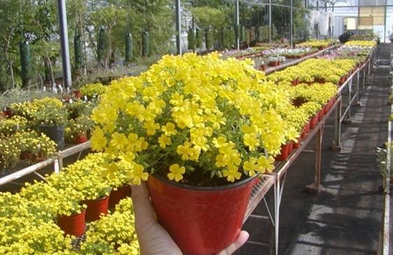 Mecardonia, la flor argentina que se exporta al mundo