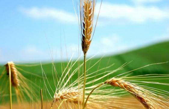 El primer trigo transgénico del mundo