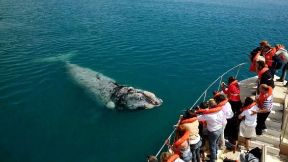 Alarmante muerte de ballenas en Península Valdés