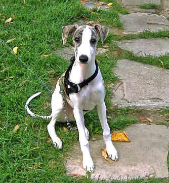 El ranking de inteligencia de todos los perros: 126 razas