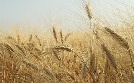 Nuevo cupo para exportar un millón de toneladas de trigo