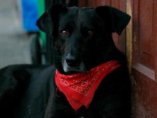 Matapaco, el perro que no se pierde una protesta en Chile