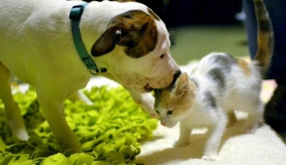 Conmovedor video: Gata cuida y alimenta a un pitbull abandonado