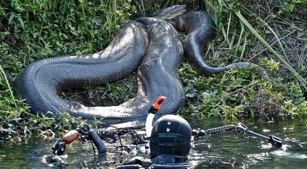 Nadando con una anaconda
