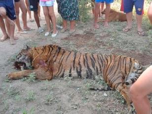 Apareció un tigre de bengala y vecinos lo mataron