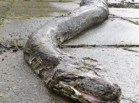 Encuentran una gigantesca pitón en plena zona residencial de Alemania