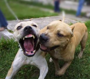 Muere un niño de 2 años tras el ataque de un perro raza Pitbull