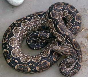 Escondían droga en cueva donde tenían serpiente anaconda