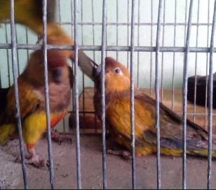 Pintaba loros y los vendía como aves exóticas: detenido