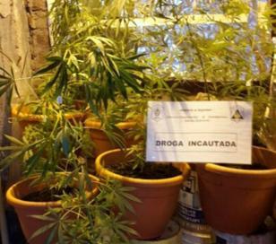Un invernadero donde se cultivaban plantas de marihuana fue descubierto por efectivos policiales en los fondos de un local de venta de productos de limpieza