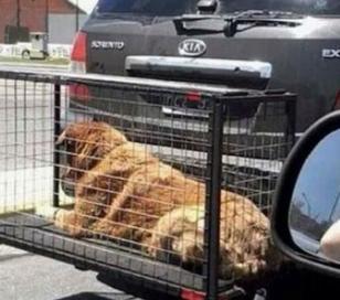 Multas para aquellos que lleven mascotas en jaulas fuera de auto