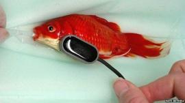 450 dólares para operar a su pez de indigestión