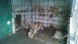 Rescataron a una maltratada leona de circo en Los Ralos