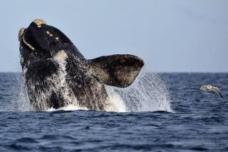 Colocaron dispositivos satelitales en ocho ballenas para conocer la ruta que siguen al dejar Chubut
