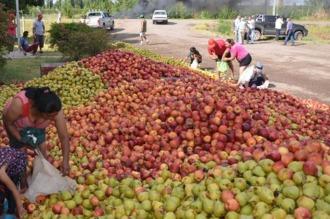Productores tiraron 100.000 kilos de peras de exportación