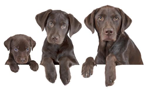 Cómo calcular la edad de un perro?