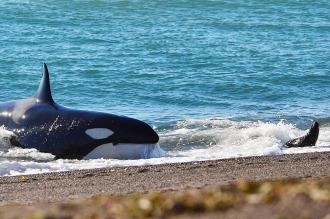 Comenzó la temporada de orcas en Punta Norte