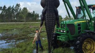 Atrapan a un monstruoso cocodrilo en Florida