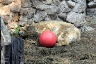 Confirman que enterrarán los restos del oso Arturo
