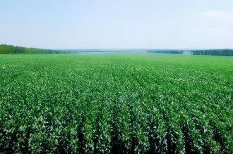 ¿Qué es lo que más conviene: soja o maíz de primera mano temprano?