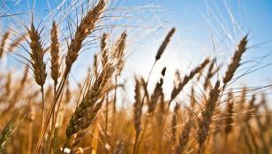 Estiman que la producción de trigo crecerá 26%