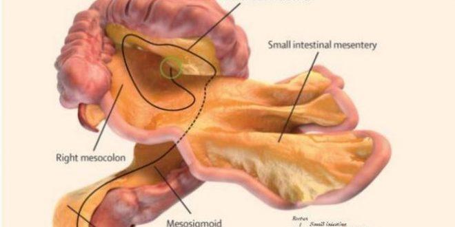 Descubren un nuevo órgano del cuerpo humano