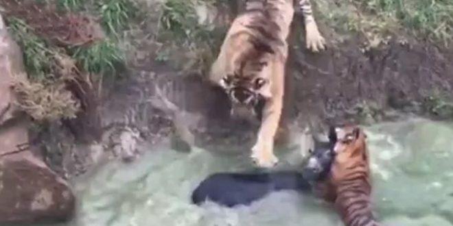 Video: Un zoológico en China dió de comer un burro vivo a dos tigres
