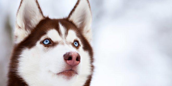 La foto de un husky siberiano después de ser pelado es furor en redes sociales