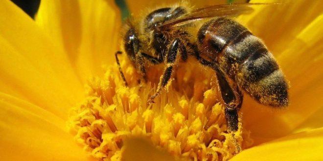 La población de abejas ha disminuido el 95% en los últimos años. Como podemos ayudar a salvarlas