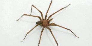 Una oficial de policía murió luego de haber sido picada por una araña de rincón