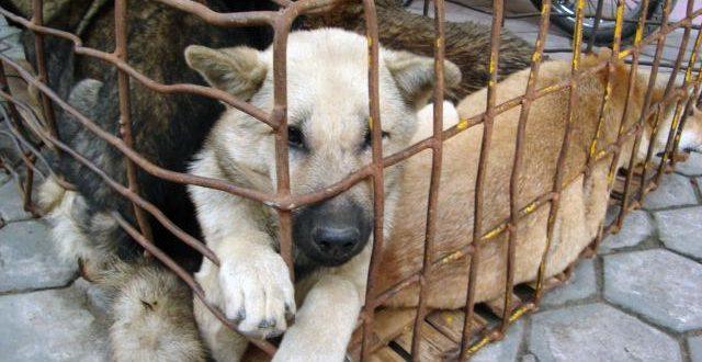 Denuncian proliferación de criaderos ilegales de perros de raza