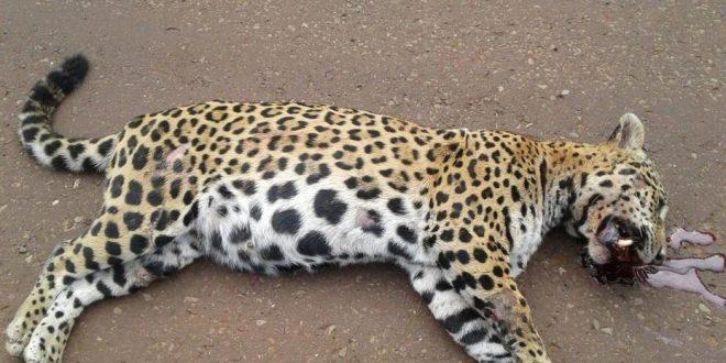 Atropelló y mató a yaguareté preñada y deberá pagar 500 mil pesos
