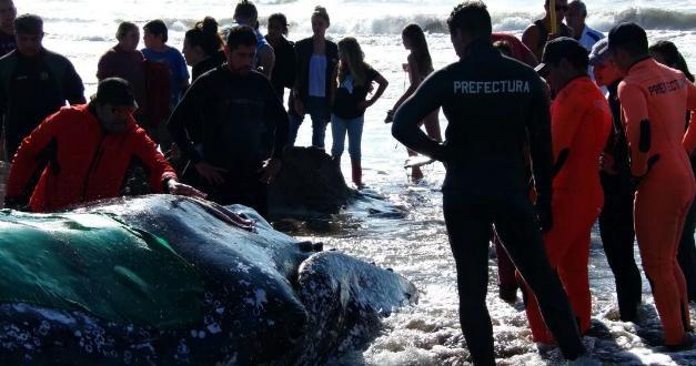 Encalló una ballena en Mar del Plata y llevan horas trabajando para salvarla